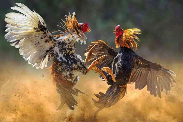 two gamecocks engaged in a cockfight in the philippines